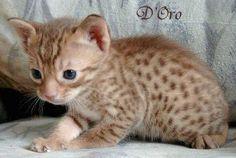ocicat   Die Ocicat hat das Wesen ihrer beiden Ursprungsrassen. Sie ist ...