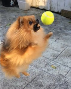 : I'VE GOT THIS! (Unfortunately the tennis ball is bigger than his mouth... )