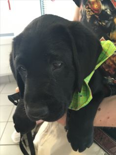 This is Nyland when he first flew in from California. Nyland is training to be a seeing-eye dog! #NylandsAdventures