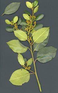Aladern. Rhamnus alaternus L.