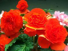 Begonia in Sherwani Nainital by Naveen Joshi Nainital, Sherwani, Begonia, Rose, Flowers, Plants, Beauty, Pink, Plant