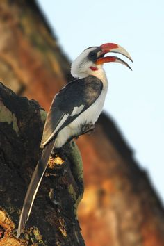 """""""East of the valley!"""" Von der Decken's hornbills prefer the thorn scrub and more arid habitats of East Africa with main population E of the Great Rift Valley. Photographed here in El Karama (Nanyuki, Kenya). (Richard & Eileen Flack)"""
