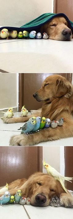 A Dog, 8 Birds and a Hamster Are the Most Unusual Best Friends EVER. Meet Bob, the friendly golden retriever. Bob lives in São Paulo, Brazil, along with his human and at least eight pet birds. The cute canine has started to Animals And Pets, Baby Animals, Funny Animals, Cute Animals, Funny Birds, Cute Puppies, Cute Dogs, Pomsky Puppies, Animal Pictures