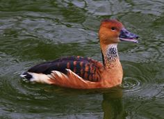 One of the most widespread species of waterfowl in the world, the Fulvous Whistling-Duck has a limited distribution in the southern United States. Its mostly seed-based diet makes it fond of rice-growing areas