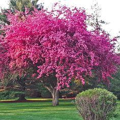 Live Kwanzan Cherry Tree