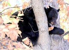 Bear necessities: Sitters help keep an eye on Boulder's furry visitors