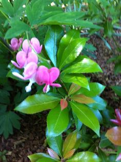 """Thank you to all who shared space in the Divine Love weekend at Omega. I found these """"bleeding hearts"""" on the path I was walking on after the event!!"""