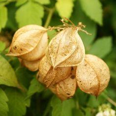 Balloon vine | Cardiospermum grandiflorum