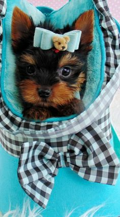 Teacup Puppies For Sale Scotland Zoe Fans Blog Cute Baby Animals