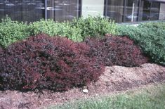 purple barberry - Berberis thunbergii var. atropurpurea'  / Berberis thunbergii var. atropurpurea'  - OnlinePlantGuide.com 1664