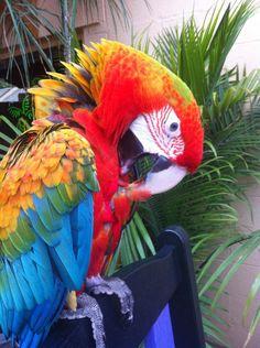 My beauty, nani. A 4 year old flame macaw.