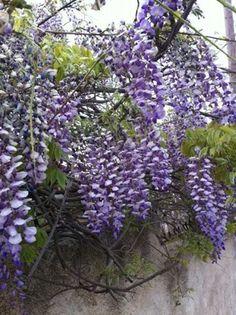 Palestine flowers
