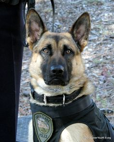 K-9 Argo of the Santa Clara Police Dept is a dual purpose K9 dedicated to taking criminals off of the streets with his partner Officer Tom Gratny.  He has a bullet-proof vest with the help of the students of the Foothill College Veterinary Tech students & a matching donation from Pet Food Express.  The vest was provided through the Cover Your K9 program of the Police & Working K-9 Foundation.  K9 Argo was donated to the Santa Clara PD i through the Sean M Wash Foundation. One handsome K9!