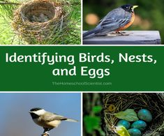 Birds are the perfect subject for a nature study. Use these tips and tricks for identifying birds, nests, and eggs. Bird Artists, Bird Theme, Bird Crafts, Nature Study, Rural Area, Bird Watching, Bird Feeders, Activities For Kids, Nests
