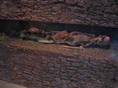 Iron age bog body Neu-England Man, of Lower Saxony, at Landesmuseum für Natur und Mensch, Oldenburg, Germany.