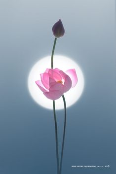 Lotus Flower Wallpaper, Lotus Flower Art, Lotus Art, Pink Lotus, All Flowers, Exotic Flowers, Beautiful Flowers, Lotus Painting, Buddha Painting