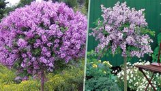 Buy Scented Korean Lilac 'Palibin' Trees - 1 or 2 UK deal for just: £14.99 Opt for lavish lilacs with theseScented Lilac 'Palibin' Trees      Compact, slow-growing dwarf trees with purple, pink blooms      Feature an exquisite fragrance and large amount of flowers      Trees bloom in May/June and again in August/September      Perfect for adding to patios in planters or on lawns     ...