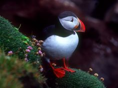 Atlantic Puffin - the only puffin species found in the Atlantic Ocean.  Bright orange plates grow before breeding season and are shed after.  Cliffs of Latrabjarg in Western Iceland - the largest bird cliffs in the world.