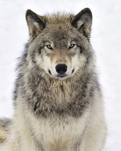 The northwestern wolf (Canis lupus occidentalis), also known as the Mackenzie Valley wolf or northern timber wolf by Tony Beck