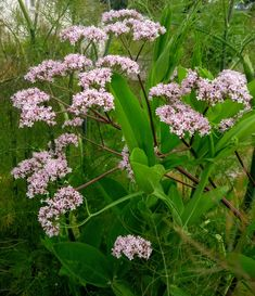 Plant Of The Week 🌿⠀  The Valerian, a fragrant perennial plant used as a medicinal herb for centuries to treat sleep disorders such as insomnia. Native to Ireland this elegant plant may be found in hedges and river banks. The nectar and pollen of the pale pink flowers provide good food for butterflies. Perennial Plant, River Bank, Georgian Homes, Medicinal Herbs, Insomnia, Hedges, Pale Pink, Disorders, Banks