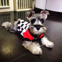 Spike :) SChnauzer pup <3
