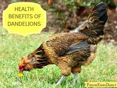 Fresh Eggs Daily®: The Health Benefits of Dandelions for Chickens and Ducks