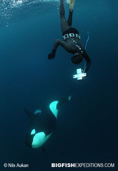 Diving with Orcas in Norway; divers need a crapload of weights to balance out that thick suit! BRRRR!