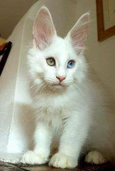 Maine coon kitten That is going to be a big cat. It will be majestic.