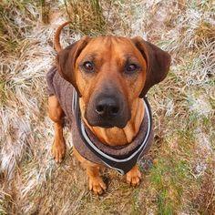 Kingsley (@rr.kingsley) • Instagram-bilder og -videoer Rhodesian Ridgeback, Dogs, Labrador Retriever, Pitbulls, Animals, Instagram, Labrador Retrievers, Animales, Animaux