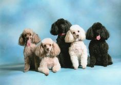 Beautiful poodles!