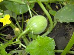 Resultado de imagen para melon mata
