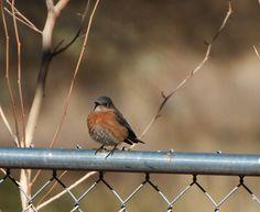 female Blue Bird on backyard fence