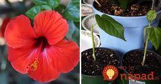 Ak pestujete čínsku ružu, tieto rady sa vám budú hodiť. Vďaka nim bude rastlinka prekvitať celé roky!