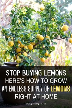 Stop Buying Lemons. Here's How To Grow An Endless Supply Of Lemons Right At Home - Modern Indoor Gardening Supplies, Container Gardening, Gardening Tips, Growing Lemon Trees, Garden Projects, Garden Ideas, Fruit Trees, Garden Planning, Vegetable Garden