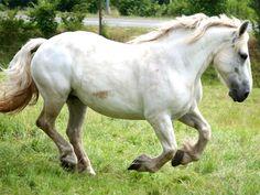 my dream horse (percheron)....someday.