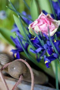 Iris reticulata und eine rosarote Tulpe