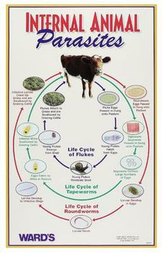 to Deal With Internal Parasites in Livestock Ag Science, Animal Science, Forensic Science, Life Science, Computer Science, Cattle Farming, Livestock, Ffa, Raising Cattle