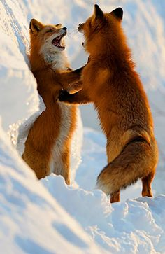 Red Foxes by Igor Shpilenok