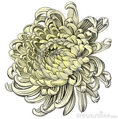 Image result for chrysanthemum drawing