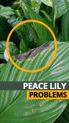 Peace Lily Problems and Common Issues – Best House Plants Peace Lily Plant Care, Peace Plant, Peace Lily Flower, Lilly Plants, Mint Plants, Succulent Plants, Potted Plants, Tropical Plants, Hanging Plants
