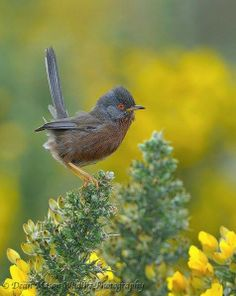 The Dartford Warbler (Sylvia undata) is a typical warbler from the warmer parts of western Europe and northwestern Africa. Its breeding range lies west of a line from southern England to the heel of Italy (southern Apulia).