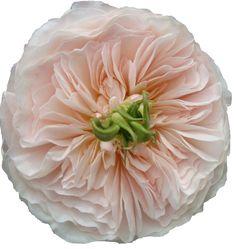 rose PRINCESSE CHARLENE DE MONACO - Поиск в Google