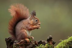 Red squirrel/ Eekhoorn by wim claes - Photo 130504067 - 500px