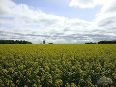 scenic picture of manitoba canada - Google Search Canola field manitoba MANITOBA