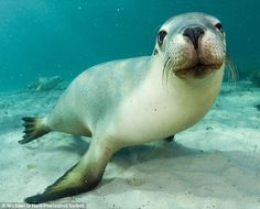 Playful: A young sea lion demands to have his picture taken by wildlife photographer Michael O'Neill