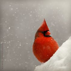 Northern Cardinal: I love the KY. Cardinal and have often observed the male defending his family. They are such beautiful creatures.