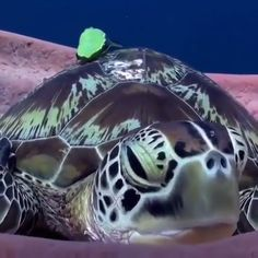Green turtle chilling in his throne! 🎥 credit IG 👉 No copyright infringement intended! 📩 DM me in regards to any questions / concerns / credit / removal! Water Animals, Animals And Pets, Baby Animals, Funny Animals, Fun Facts About Animals, Animal Facts, Green Turtle, Turtle Love, All Gods Creatures