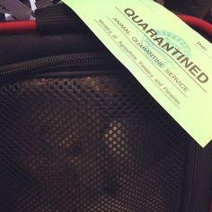 """quarantined"" she's been bagged and tagged #sayonara #japan! see you soon #london via #paris #lovemypup #mollytravelstheworld #dachshundsofinstagram #travel #airfrance"