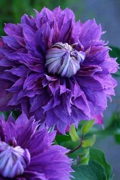 ✯ Clematis diamantina - Clematis can create the most mysterious, wonderful blooms!