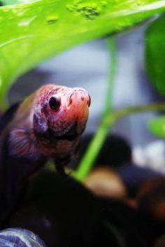 Betta Fish Burrowing in Rocks: Is This Normal? - Betta Source Aquarium Store, Ghost Shrimp, Bone To Pick, Aquarium Decorations, Aquarium Ideas, Siamese Fighting Fish, Pet Fish, Colorful Animals, Live Plants